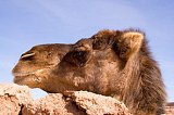 Mustapha the camel